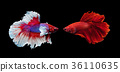 two siamese fighting fish on black background 36110635
