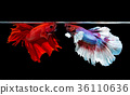two siamese fighting fish on black background 36110636