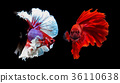 two siamese fighting fish on black background 36110638