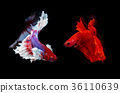two siamese fighting fish on black background 36110639
