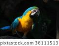 凤头鹦鹉 鹦鹉 金刚鹦鹉 36111513