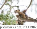 청설모, 에조리스, 다람쥐 36111987