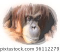 猩猩 猭 類人猿 36112279