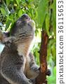 코알라, 동물, 야생 동물 36115653