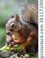 호두를 먹는 다람쥐 36117200