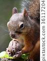 다람쥐, 먹다, 호두 36117204