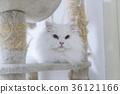 white Persian cats 36121166