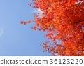 상쾌한 단풍 나무의 단풍 1 36123220