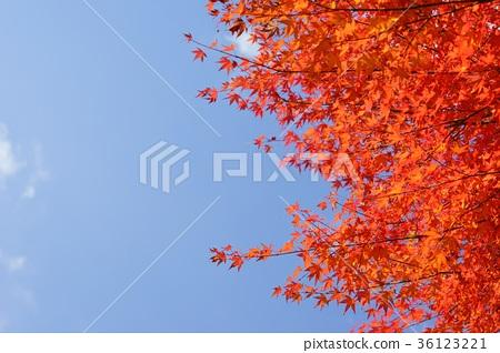 상쾌한 단풍 나무의 단풍 2 36123221