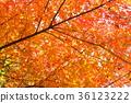 단풍 나무의 단풍 36123222