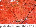새빨간 단풍 잎 36123233