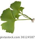 Ginkgo Biloba Leaves 36124587