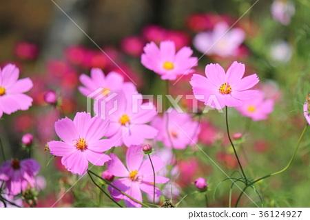 꽃, 플라워, 코스모스 36124927
