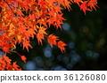 단풍 나무의 프레임 1 36126080