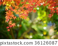 단풍 나무 프레임 7 36126087