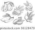 Sketch of guava and avocado, fig and mango, durian 36128479