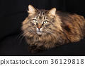 Beautiful cat lies on a black background. 36129818