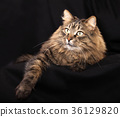 Beautiful cat lies on a black background. 36129820
