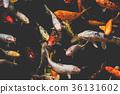 many koi fish -   koi carp fishes 36131602