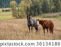 country, equine, farm 36134186