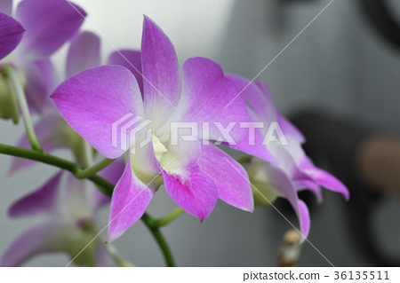 Dendrobium Phalaenopsis (Sakura) 36135511