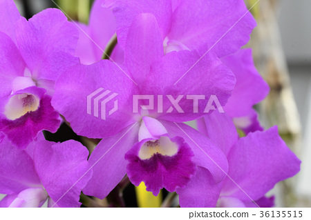 Cattleya Poisha (Kanizaro) 36135515