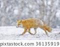 虾夷红狐狸 狐狸 野生动物 36135919