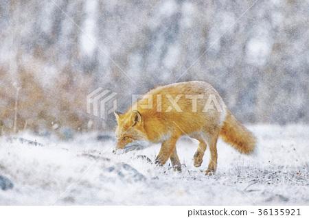 홋카이도 야생의 북극 여우 수채화 36135921