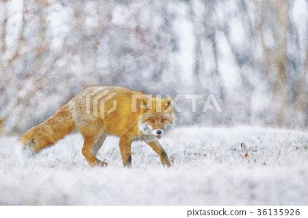 虾夷红狐狸 狐狸 野生动物 36135926