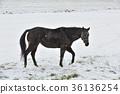 ม้า,หิมะ,ฉากหิมะ 36136254