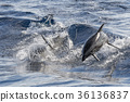 Dolphin while jumping in the deep blue sea 36136837