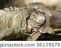 Green iguana or Common iguana  36139076