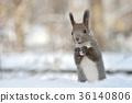 松鼠 北海道松鼠 日本北海道松鼠 36140806
