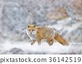 虾夷红狐狸 狐狸 野生动物 36142519