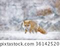 虾夷红狐狸 狐狸 野生动物 36142520