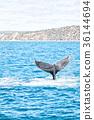 in australia a free whale in the ocean 36144694