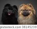 beautiful spitz dogs on grey background 36145239