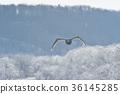 在冰(北海道)背景下飞翔的天鹅 36145285