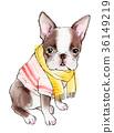 보스턴테리어, 개, 강아지 36149219