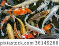 carp, koi, pond 36149268