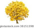 large tree, wood, yellow leafe 36151398