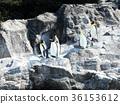 一群企鵝 36153612