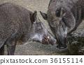 野豬 動物 野生動物 36155114