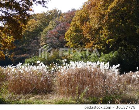 Persimmon near the Satoyama house and autumn leaves (2) 36157779