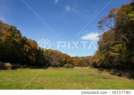 Rice field and colored leaves near villager's house 36157780