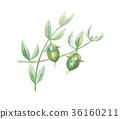種子 植物 植物學 36160211