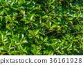잎, 이파리, 잎사귀 36161928
