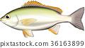 threeline grunt, isagi, fish 36163899
