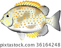 kae, gomaaigo, fish 36164248
