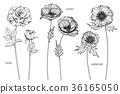 Rose,Poppy,Anemone flower drawing illustration.  36165050